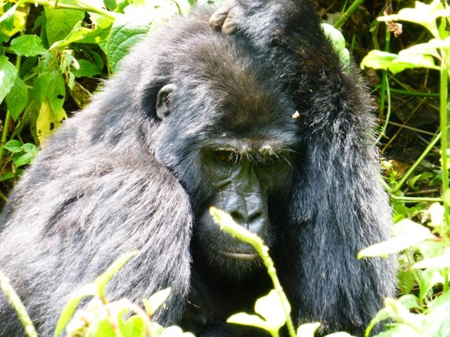 Gorilla High
